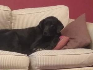 Dog on pillows.